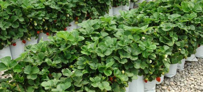 اعضای تیم پژوهشکده گل و گیاه محلات از گلخانه های شهر پاکدشت بازدید کردند