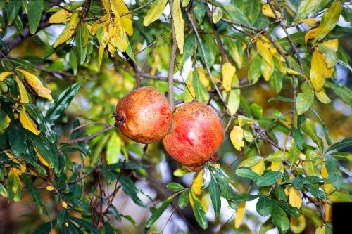 دلیل زرد شدن برگ های درخت انار چیست؟ پرورش درخت انار