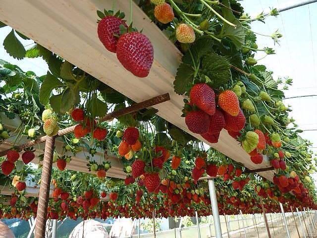 توت فرنگی و گوجه فرنگی هیدروپونیک